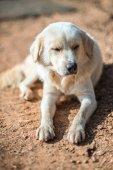 Crouching Vagrant dog  — Stockfoto