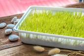 Freshly grown organic Wheatgrass ready to juice — Stock Photo