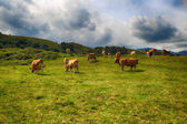 Rural mountain landscape with cows herd — Stock Photo
