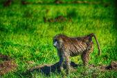An olive baboon (Papio anubis), Lake Nakuru National Park, Kenya — Stock Photo