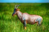 Grazing red Hartebeest antelope in long lush grass — Stock Photo