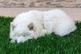 Samoyed breed dog sleeping on grass — Stock Photo