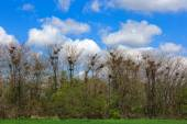 Many nests of a colony of rooks or crows in grove — Stock Photo