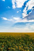 Sunflower in a field agricultural farm — Stock Photo