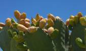 Opuntia fruit — Stock Photo