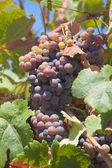 Ripening grapes — Stock Photo