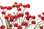 Bunch of rose hips isolated — Stock Photo