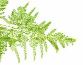 Asparagus setaceus — Stock Photo