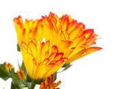 Chrysanthemum, — Stock Photo