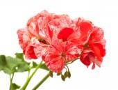 Variegated pink and red geranium — Stock Photo