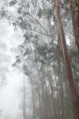 Inland Gran Canaria, fog at the crest of Valleseco, eucalyptus w — Stock Photo