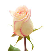 Cream and pink variegated rose — Stock Photo