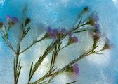 Frozen flora - waxflower — Stock Photo