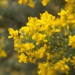Abundant flowering of Genista microphylla, broom species endemic — Stock Photo #69448169