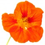 Tropaeolum majus ,garden nasturtium — Stock Photo #69449649