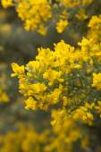 Abundant flowering of Genista microphylla, broom species endemic — Stock Photo