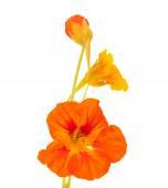 Tropaeolum majus ,garden nasturtium — Stock Photo