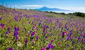 La Gomera, flowering mountain meadows — Stock Photo