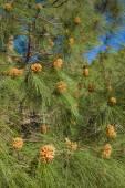 Pinus canariensis, Canarian Pine — Stock Photo