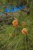 Pinus canariensi, Canarian Pine — Stock Photo
