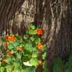 Tropaeolum majus, garden nasturtium — Stock Photo #72933539