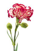Vareigated carnation flowers — Stock Photo