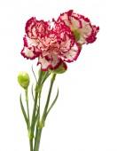 Vareigated carnation flowers — Stock Photo