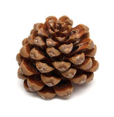 Cone of Stone pine, Pinus Pinea — Stock Photo