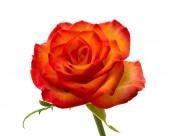 Srokaty róża na białym tle — Zdjęcie stockowe
