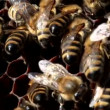 Worker bees on honeycomb with honey — Stock Video #53515593