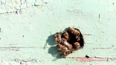 Bijen bij de ingang naar de korf — Stockvideo