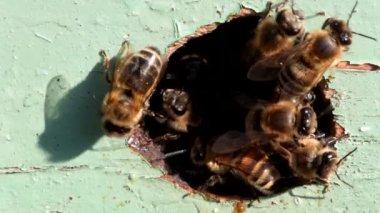 Werknemer bijen — Stockvideo