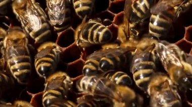 Honingbijen reparatie cel — Stockvideo
