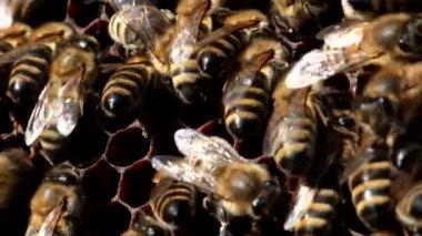Werknemer bijen op de honingraat met honing — Stockvideo