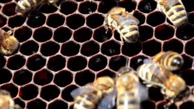 Honingbijen op de honingraat — Stockvideo