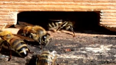 Honey bees at the entrance to the hive — Stockvideo