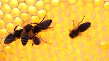 Bijen op de honingraat met honing — Stockvideo