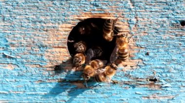 Honey bees at the entrance to the hive — ストックビデオ