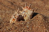 Sea shell — Stok fotoğraf