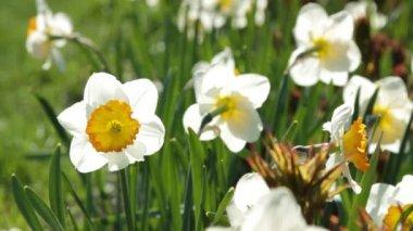 Daffodil flowers — Stock Video