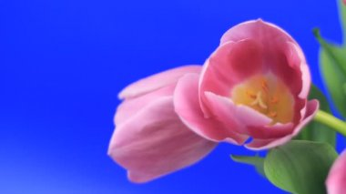 Pink tulips — Stock Video