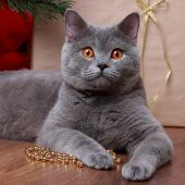 Cat on Christmas — Stock Photo