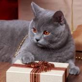黄色い目を持つイギリスの猫のイメージ — ストック写真