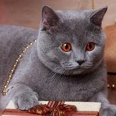 Image of british cat with yellow eyes — Stock Photo
