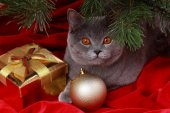 Portrait of British gray cat under the Christmas tree — Stock Photo