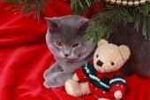 Portrait of British gray cat under the Christmas tree — Stock Photo
