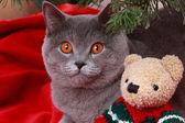 Gorgeous british cat on Christmas — Stock Photo