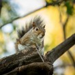Eastern Grey Squirrel — Stock Photo #54250957