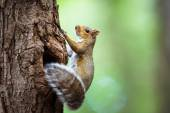 Eastern Grey Squirrel — Stock Photo