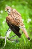 Common Kestrel - Falco tinnunculus — Stock Photo